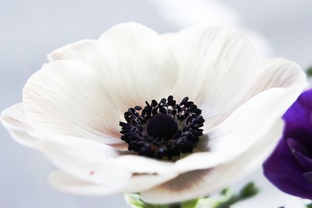 Flor, Anêmona, Branco