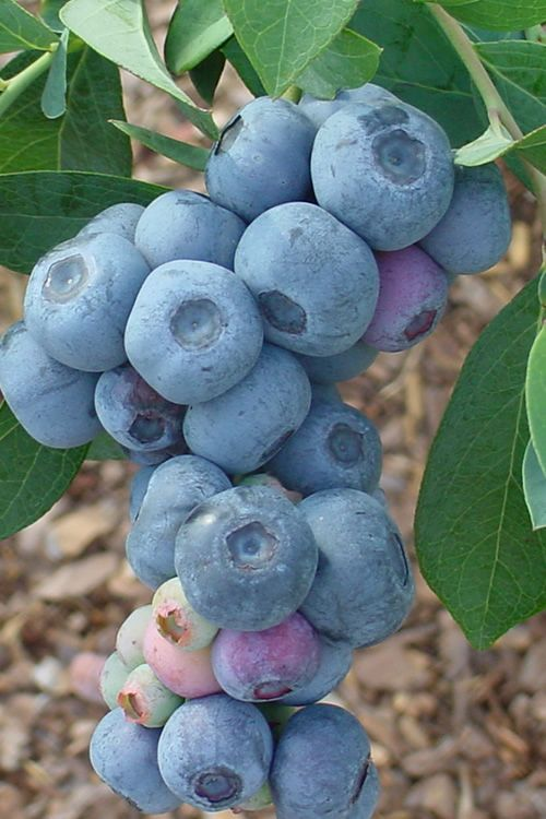 Buy Titan Blueberry Plant For Sale Online From Wilson Bros Gardens
