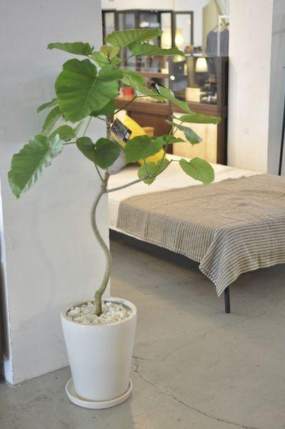 Ficus umbellata @ HADANA