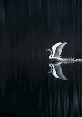 Daniel Nilsson - Lyft, swan dancing in water, photograph