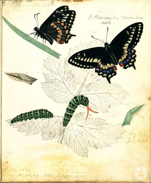 Black swallowtails in different lifecycle stages.