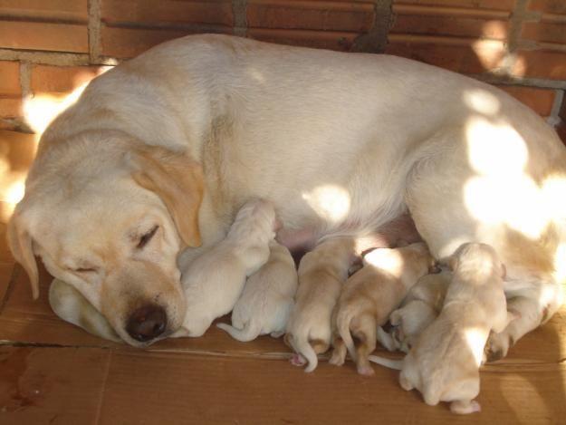 Labrador Retriever and puppies