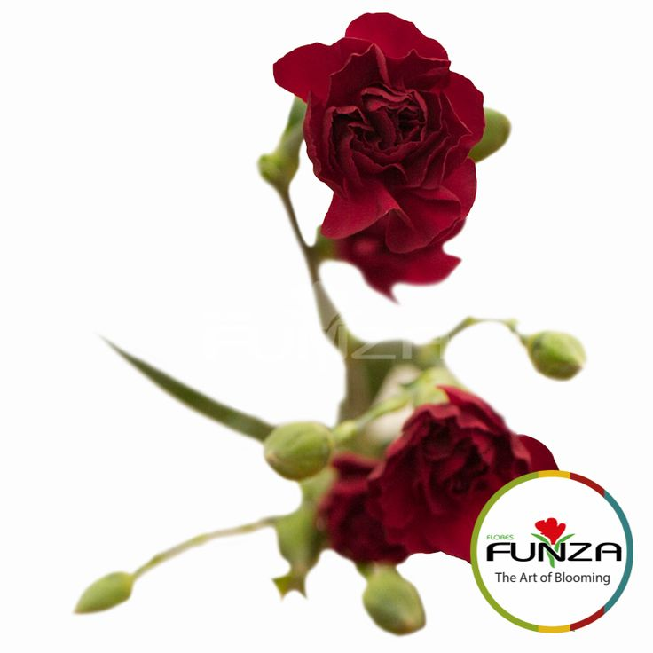 Burgundy Spray Carnation from Flores Funza. Variety: Chateau. Availability: Year-round.