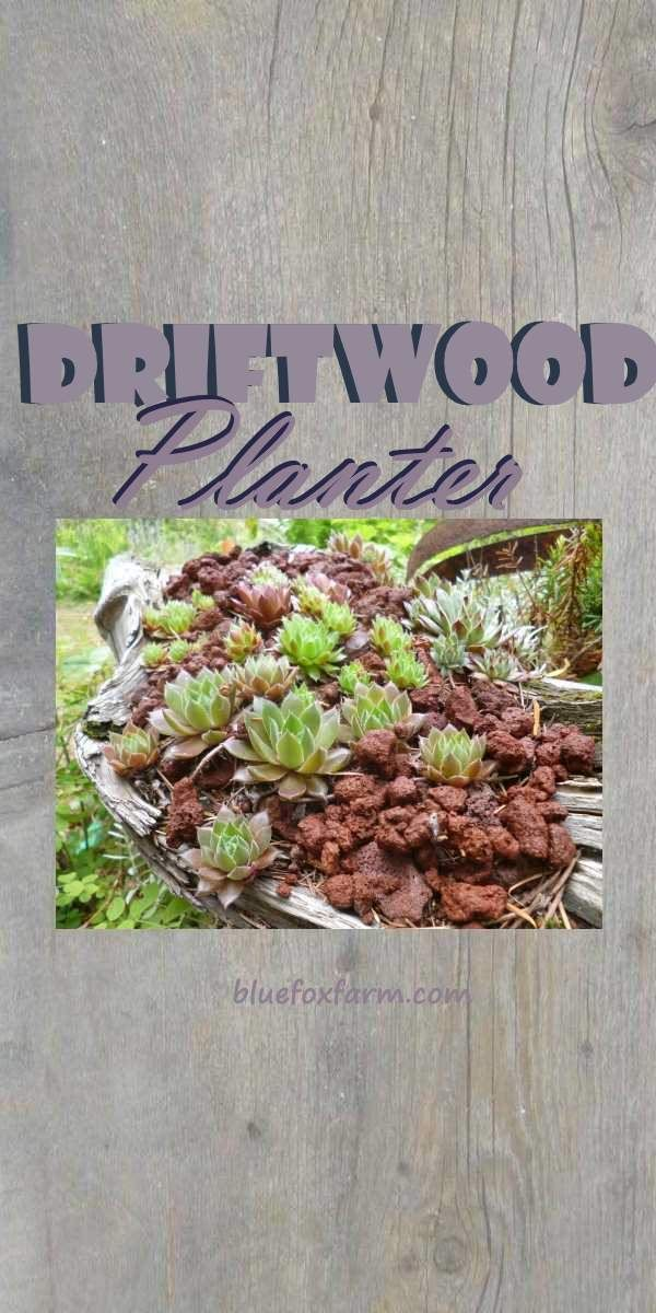 Nature does an amazing job of weathering and distressing - nowhere more beautiful than a piece of driftwood from the beach - why not use it as a Driftwood Planter for some succulents?  Succulents | Sempervivum | Gardening