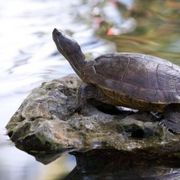 How to Tell an Aquatic Turtle From a Land Turtle | eHow