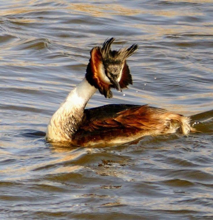 Deze foto heb ik gisteren gemaakt. Het waaide nogal hard waardoor de veren als een krans om zijn/haar hoofd wapperden. Ik vond het zo'n grappig gezicht.