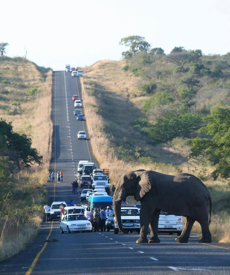 Now this is a traffic jam. You don't argue with an elephant.