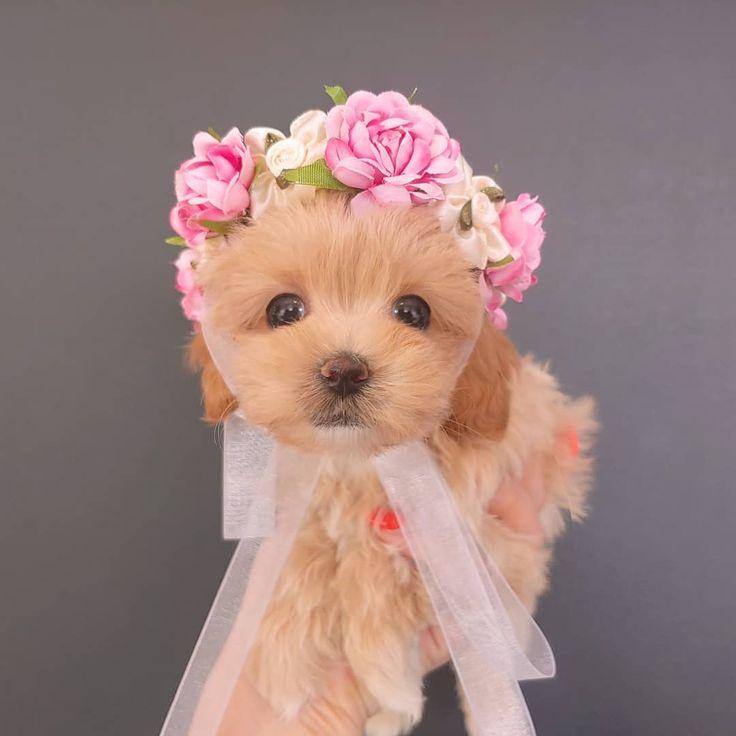 Dachshund Puppies For Sale Under 300 Dollars Near Me 2021