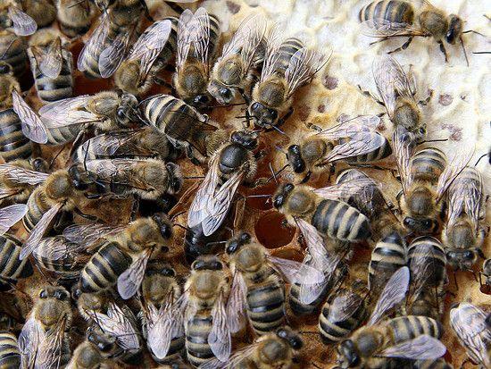 Βασίλισσα Μέλισσα, η μάνα του μελισσιού - Meliforos.com