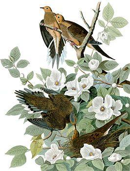 """The Birds of America bevat oa afbeeldingen van zes vogelsoorten die nu uitgestorven zijn: de Carolinaparkiet, de trekduif, de Labradoreend, de reuzenalk, de Eskimo-wulp en de heidehoen.  Het boek heeft de naam het """"duurste boek ter wereld"""" te zijn. .In 2010 werd er bij Sotheby's in Londen al een Birds of America geveild voor 11,5 miljoen dollar. Het winnende bod was een recordbedrag voor een gedrukt boek."""