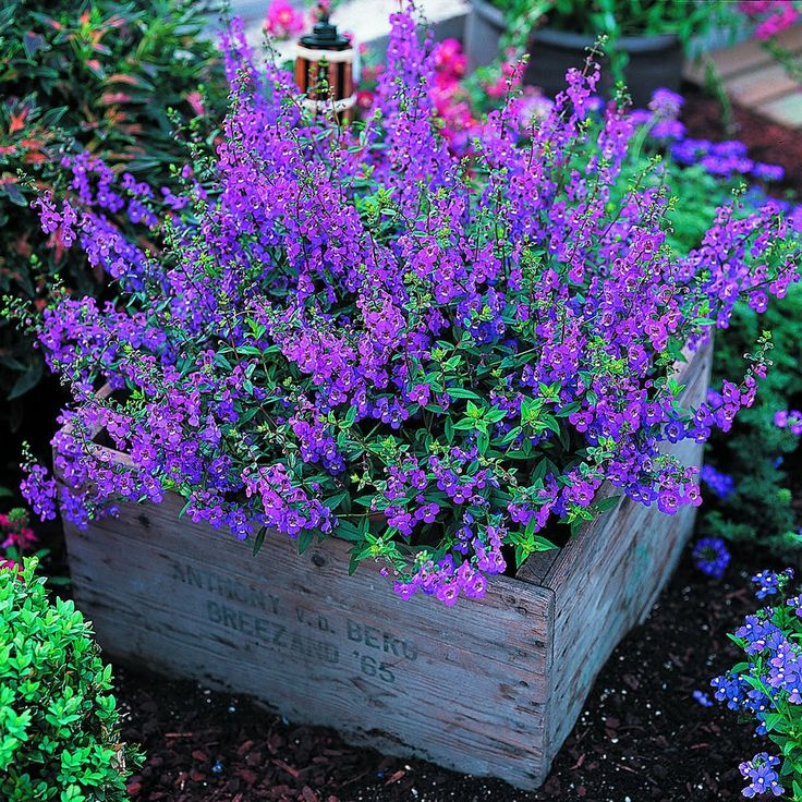 Angelonia Serena – a tough plant that blooms all summer long with blooms that resemble a snapdragon. Angelonia loves the hot, dry conditions of summer, are resistant to disease, & make great cut flowers. They are compact enough for both container and border plantings. If you are searching for a prolific blooming, hot weather (but humid tolerant) plant, give Angelonia a whirl.