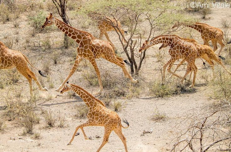 Photo by @amivitale for @natgeo. The giraffe population has plummeted more than 40 percent over the past 30 years. To make matters worse, scientists know relatively little about giraffe behavior. But a group of scientists and wildlife experts are working to untangle the mystery behind these animals' rapid decline. In early June, I followed a group from the San Diego Zoo Global (@sandiegozoo), the Giraffe Conservation Foundation (@giraffe_conservation) and the Northern Rangelands Trust…