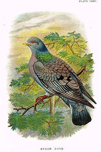 "Lloyd's Natural History - ""STOCK DOVE"" - Pl. CXXII - Chromolithograph - 1896"