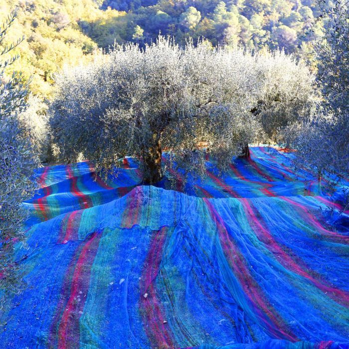 Olive grove in bloom    Multicoloured nets are set under olive trees to collect the olives France.