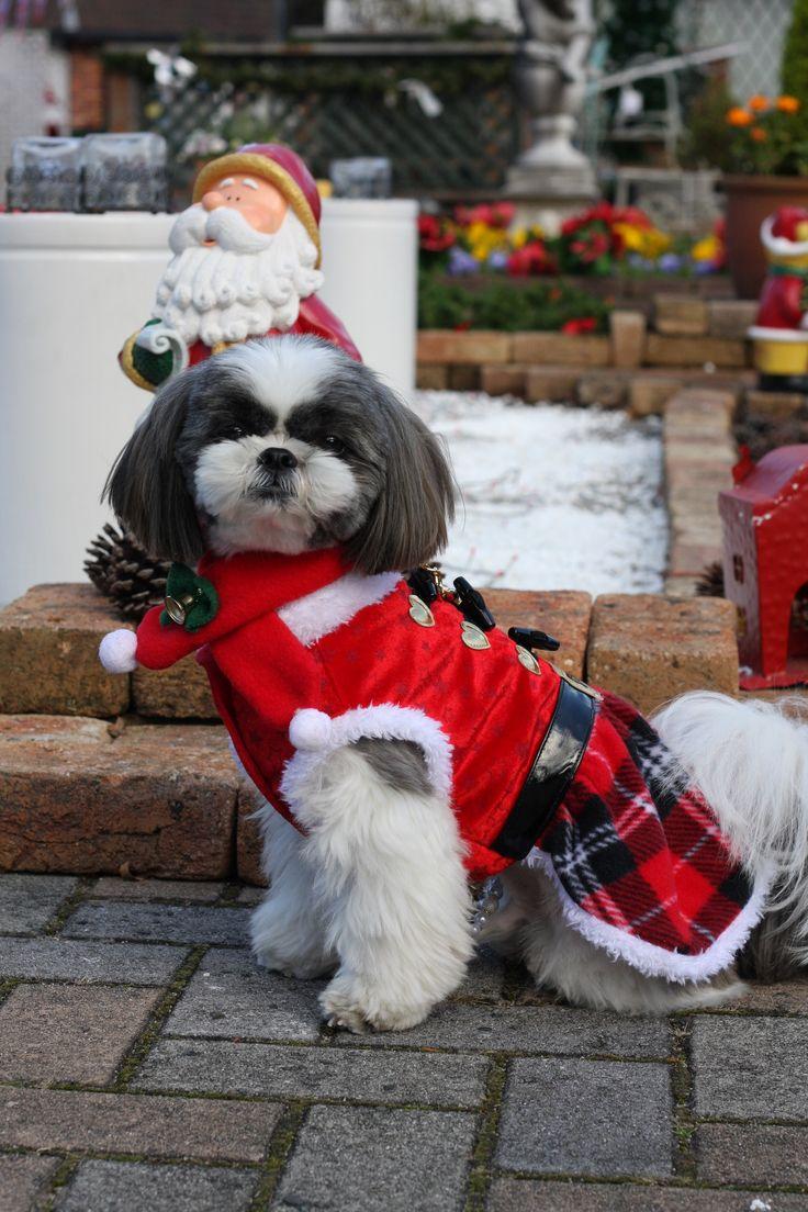 ぺぺくん/修善寺虹の郷にて/わんわんパラダイスさんをチェックアウした後は、修善寺虹の郷へ行きました。クリスマスの装飾がとても綺麗でした。ペペはちょうどクリスマスの洋服を着ていたので嬉しくて、写真をたくさん撮ってしまいました。