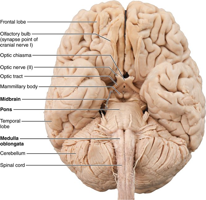 12.4 The brain stem consists of the midbrain, pons, and medulla oblongata