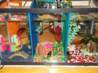 17 best images about betta fish guide crafts tanks on for Fighting fish tank