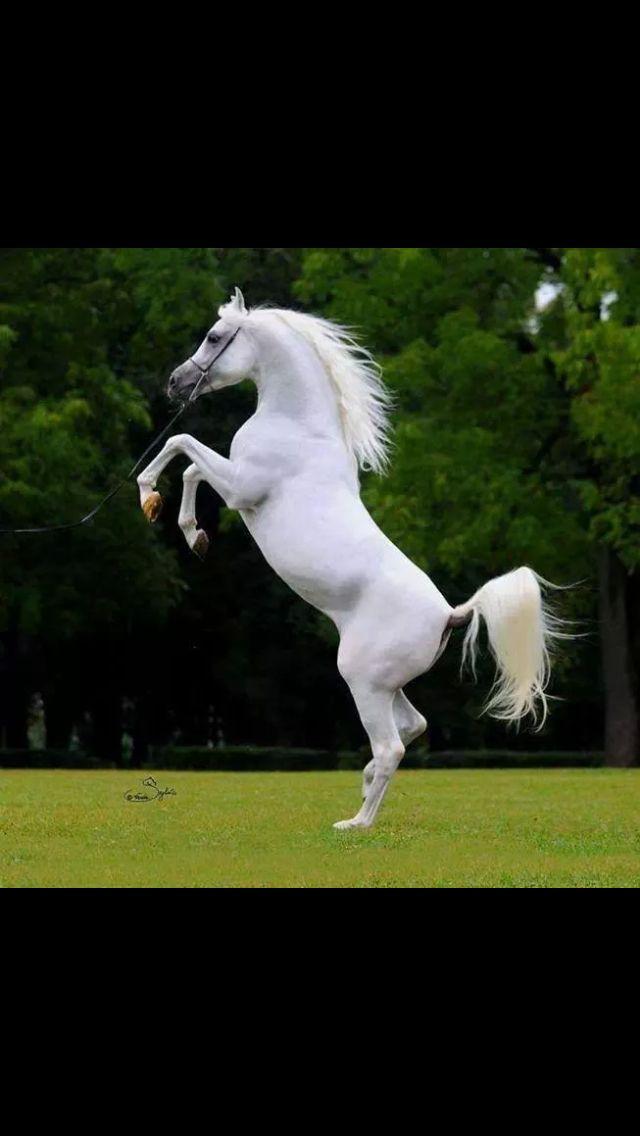 Grey Arabian Liberty Stance