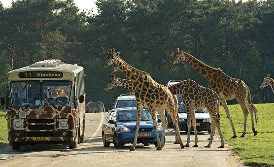 Safaripark Beekse Bergen.  In Safaripark Beekse Bergen wacht een dag vol Afrikaanse avonturen! Tijdens de wandel-, bus-, boot- en autosafari komen maar liefst 1.500 wilde dieren. www.safaripark.nl