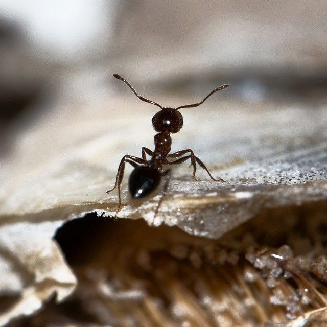There may be an entire class of ant that specializes in laziness. After observing 5 different colonies of North American forest ants, two scientists from the University of Arizona found that a significant portion of ants spent their time doing nothing at all. But that might not be a bad thing. It is thought that these ants could be a back-up reserve of workers, or they might serve as guards should invasive insects stop by. Or perhaps they provide tired workers with sustenance. The purpose…