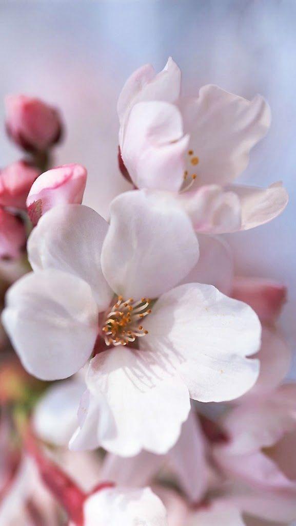 épinglé par ❃❀CM❁✿Cherry blossoms@@                              …