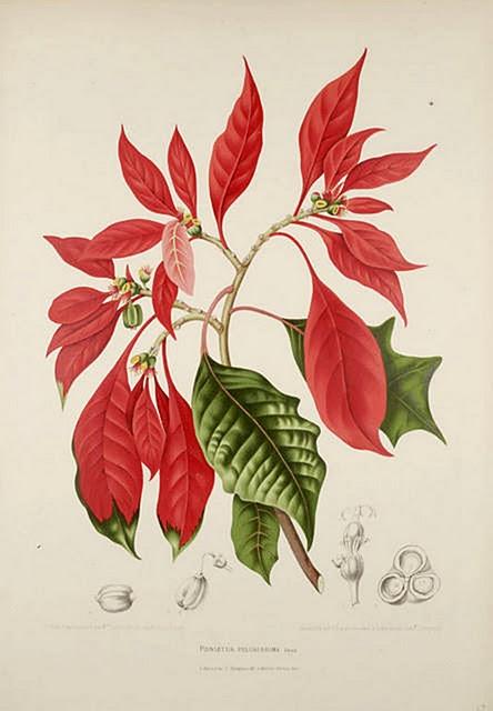 Botanic print - poinsettia