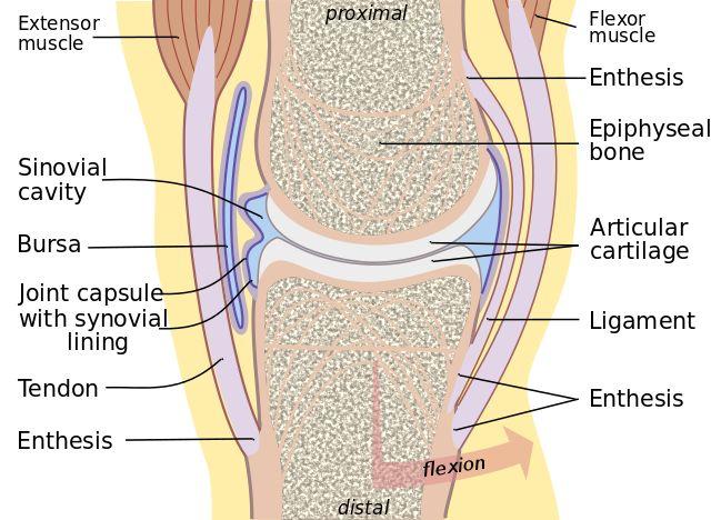 La artrología es el estudio formal de la anatomía, fisiología, deformaciones y manejo de articulaciones. El estudio de las articulaciones ilustra la relación estrecha entre la estructura y la función, la artrología es el estudio de cómo los huesos se unen para permitir o limitar el movimiento. Las articulaciones son componentes cruciales de la anatomía …