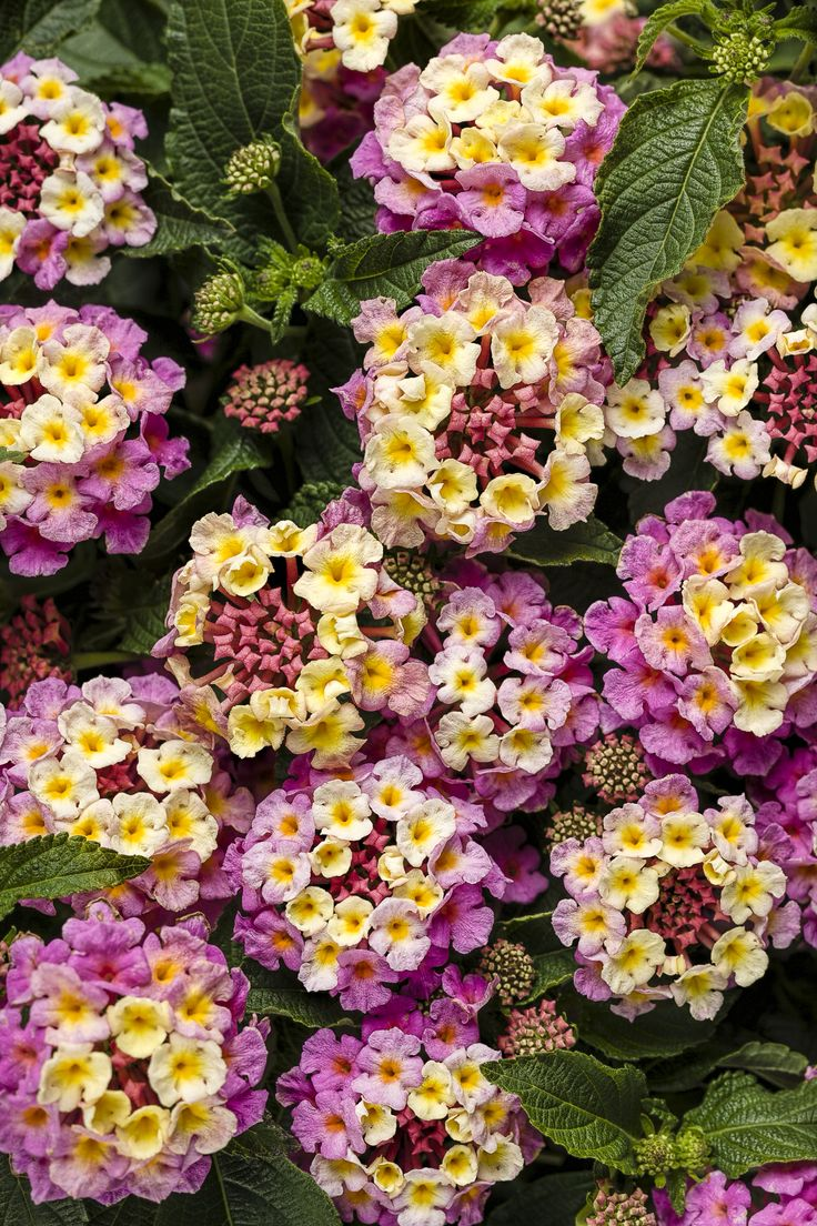 Luscious® Pinkberry Blend - Lantana camara - for use in front of boxwood at Carriage house.