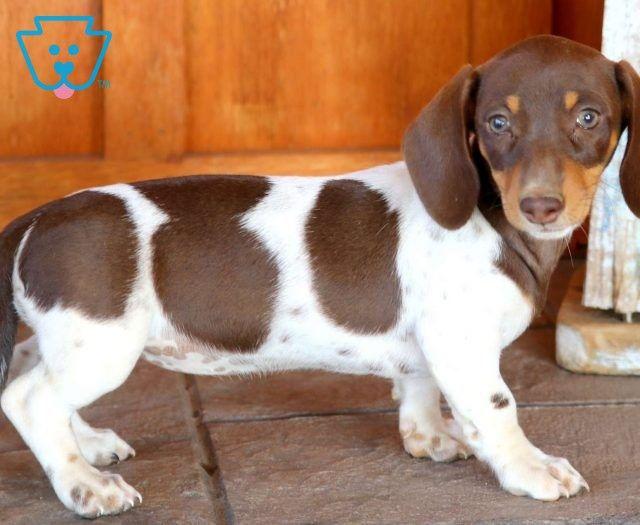 Cinderella Miniature Puppies Dachshund Puppies For Sale