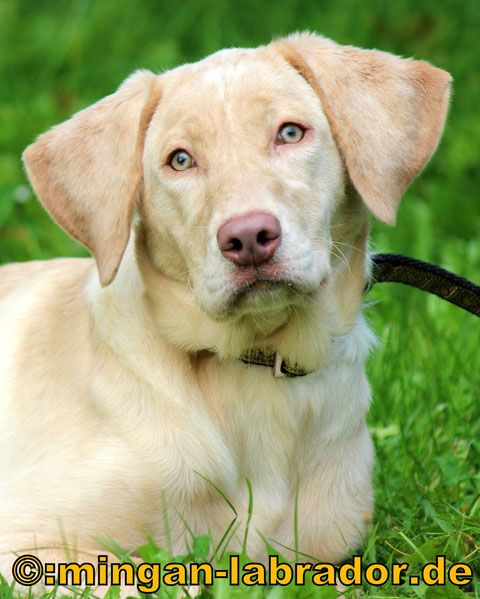 Peaches - mingan-labrador: Labradore in Silber, Charcoal, Champagner, Braun