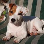 El perro jack russell terrier es también muy conocido por recordarnos al famoso perro #Pancho, estrella de la televisión. #jackrussell #jackrussellterrier #perros #razasdeperros  #ExpertoAnimal #MundoAnimal #ReinoAnimal #Animales #Naturaleza #AnimalesFamosos #Personajes #Caricaturas #Mascotas