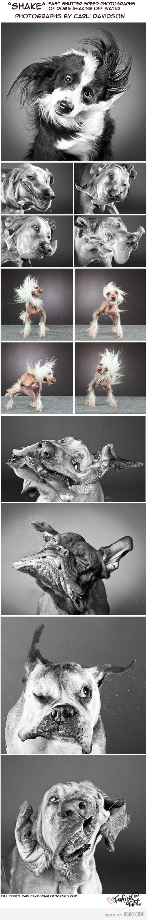 "Another pinner said: For her series ""Shake"", pet photographer Carli Davidson photographed curious portraits of dogs shaking off water.- This truly makes me happy!"