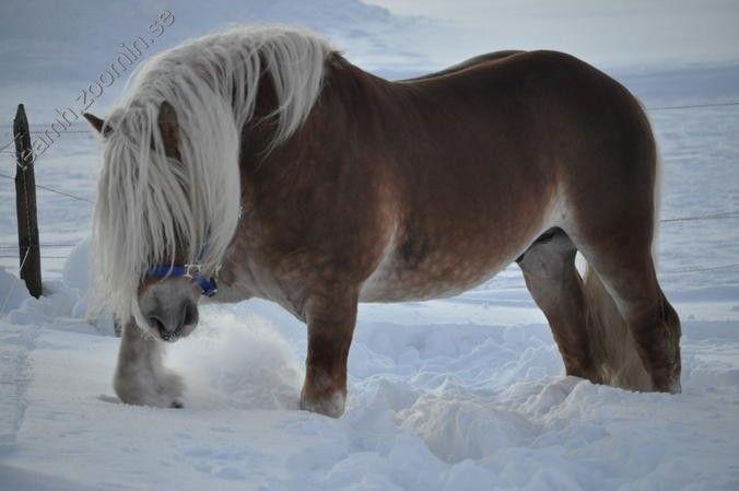 Odin1986 - Nordsvensk stallion