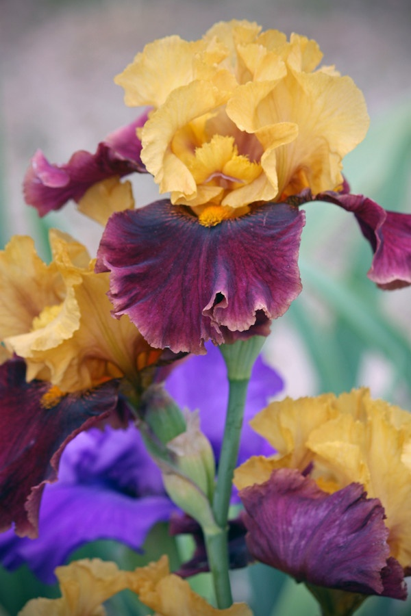 Multi-Colored IrisBeautiful Flower, Flores Flowers Fleur, Beards Iris, Flora, Flower Pow, Flower Gardens, Multi Colors Iris, Iris Beautiful, Gardens Pl