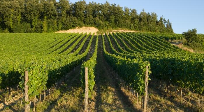 the vineyards @ fattoria-fibbiano