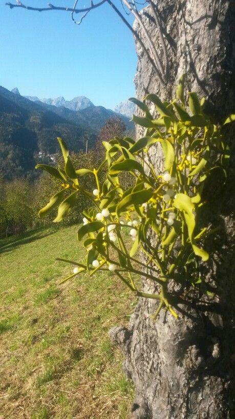 #Alps #Carnia Mistletoe