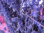 How to grow Lavender from seeds