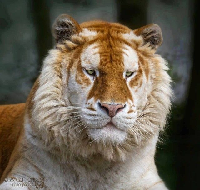 Самый редкий золотой тигр