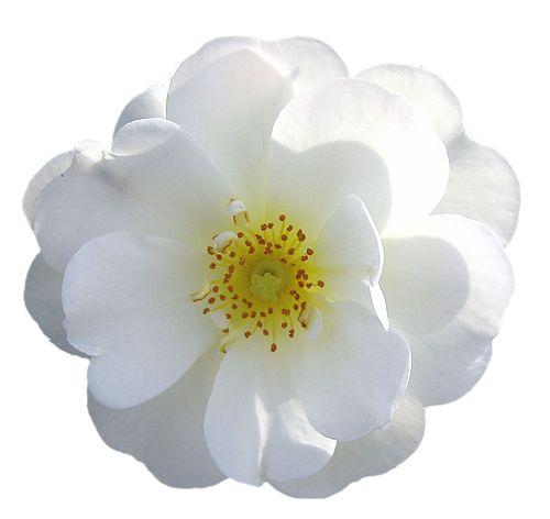 white rose transparent background google search flowers for