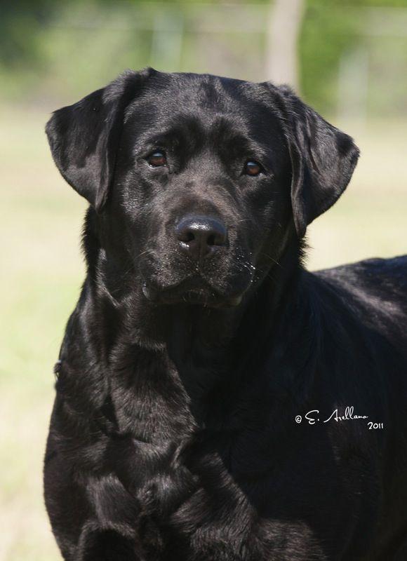 Black English Labrador Retrievers English Labrador Labrador Retriever Black Labrador Retriever