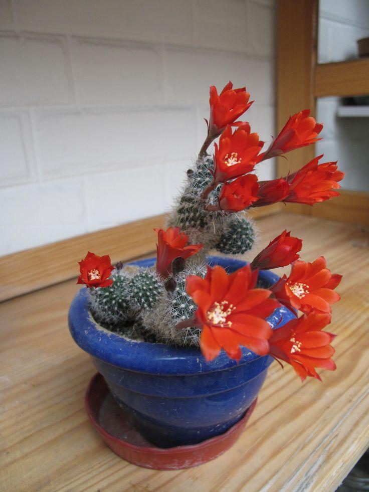 Rebutia_red_flowers
