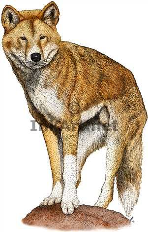 Full color illustration of a Dingo (Canis lupus dingo)