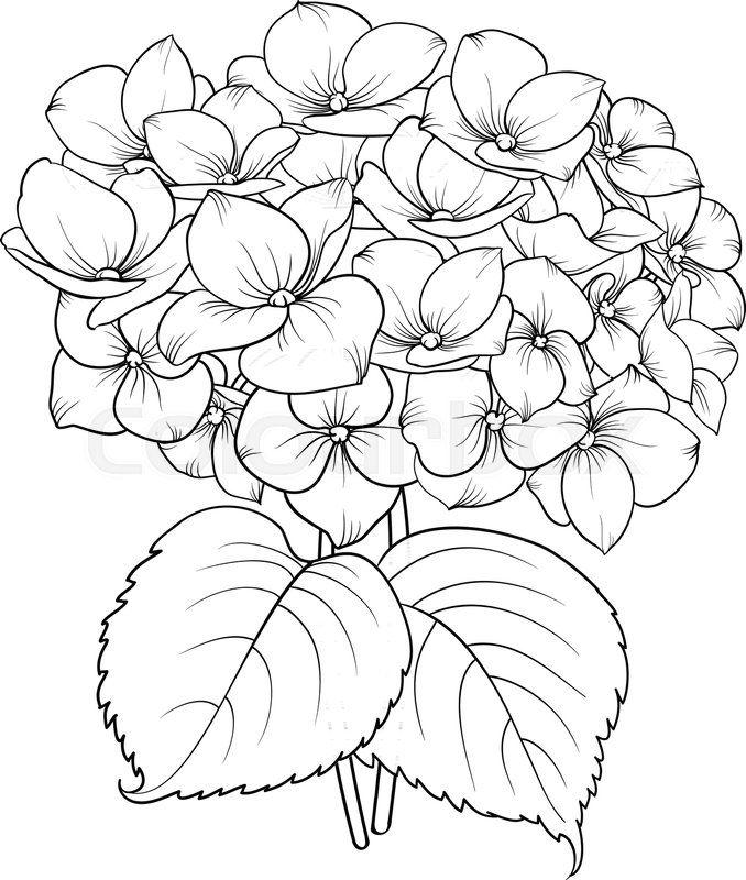 Blooming Flower Hydrangea On White Background Mop Head Hydrangea 678x800 Jpeg Flower Line Drawings Hydrangea Painting Flower Painting