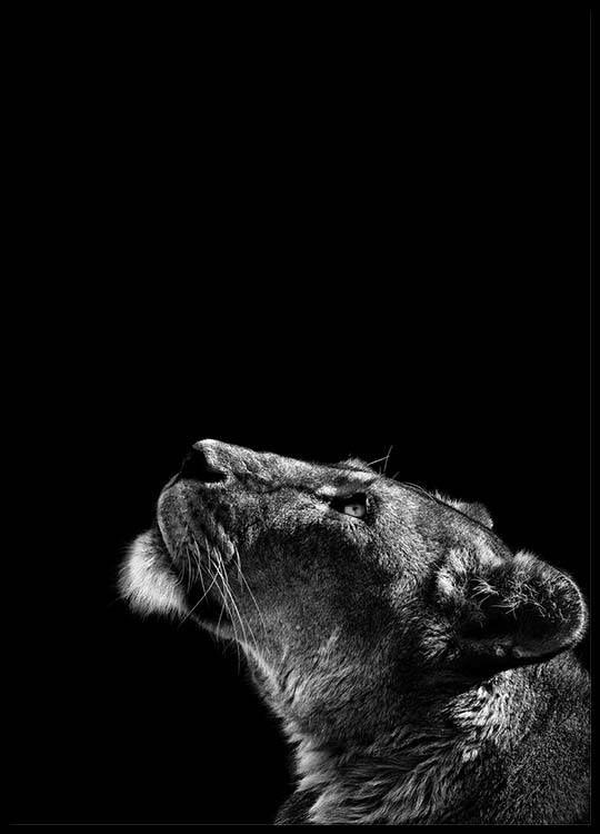 Lioness Plakat Lovinne Plakat Dyr