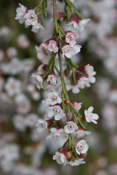 Chamelaucium ciliatum • Australian Native Plants Nursery • Plants • 800.701.6517