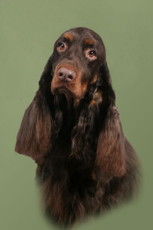 Field Spaniel ~ Classic Look & Trim ~ Freddie CH Calicos If Looks Could Kill CD GN BN RAE