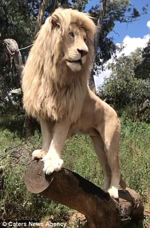 He is the alpha male and king of 73 other lions looked after at the GG Conservation Centre...