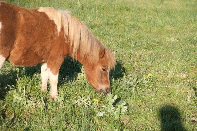#mini #pony #grazing #madisonfields #farmlife