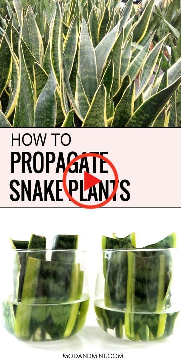 Propager Plantes Serpent De Feuilles Boutures Et Font Plus De Plantes Snake Plant Water Plants Plants