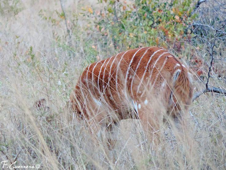Niala / Tragelaphus angasii / Nyala / P.N. Kriuger, Sudáfrica